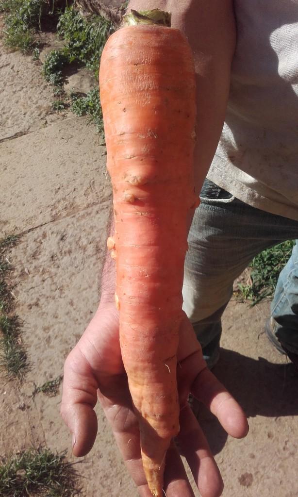 photo carotte